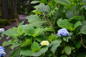 紫陽花.JPGのサムネール画像