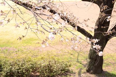 14・329前橋桜.JPGのサムネール画像